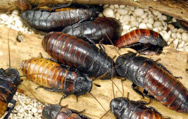 видове хлебарки